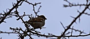 Sparrow in London Royalty Free Stock Photos