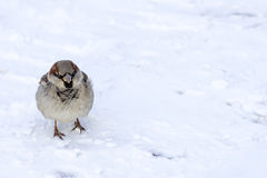 Sparrow. A lonely sparrow walking on snowy path Royalty Free Stock Photography
