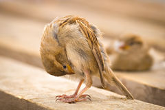 Sparrow looking at itself. Sparrow looking upside down at itself Stock Image