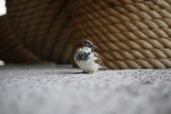 Sparrow looking right with rope background Stock Photo