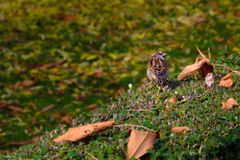 Sparrow looking for something to eat in autumn.  royalty free stock photos