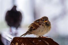 Sparrow looks at the frame and at the rear there is a large bird vague and incomprehensible. Winter Royalty Free Stock Photo