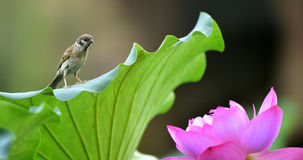 The sparrow with lotus Stock Photos