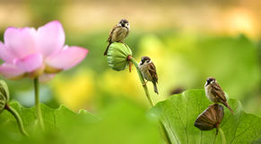 The sparrow with lotus Royalty Free Stock Photo