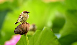 The sparrow with lotus Stock Photo