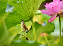 The sparrow with lotus Royalty Free Stock Photos