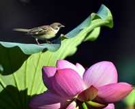 The sparrow with lotus Royalty Free Stock Photography