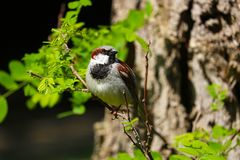 Male sparrow bird sitting on a branch in the sun Royalty Free Stock Photo