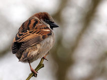 Sparrow. A male sparrow on a branch Stock Photography