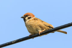 Sparrow male sitting on a wire Royalty Free Stock Photography
