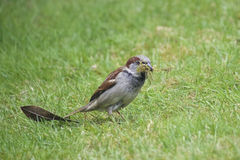 Sparrow with materials for nest building Stock Photo