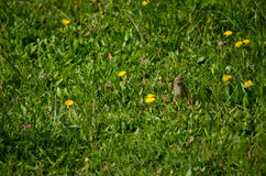 Sparrow in Meadow stock photography