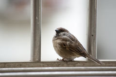 The sparrow Stock Images