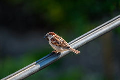 Sparrow on the metal rod Royalty Free Stock Photo