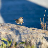 Sparrow on the move Royalty Free Stock Image