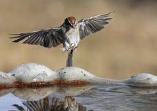 sparrow nadchodzą fotografia stock
