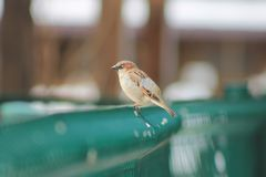 Sparrow on nature royalty free stock photo