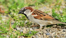 Sparrow on nature background Stock Image