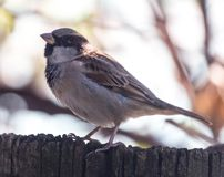 Sparrow in nature. In the park in nature Royalty Free Stock Photos