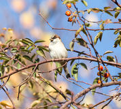 Sparrow in nature. Photo taken by professional camera and lens Royalty Free Stock Photography