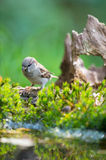 Sparrow in nature Stock Images