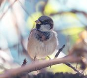 Sparrow in nature. In the park in nature Royalty Free Stock Image
