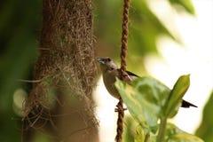 A sparrow. Near a birdnest Royalty Free Stock Photography