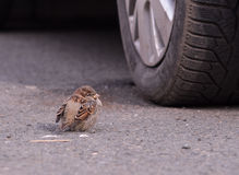 Sparrow near Wheel Royalty Free Stock Photos