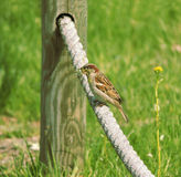 Sparrow with nest building material Royalty Free Stock Images