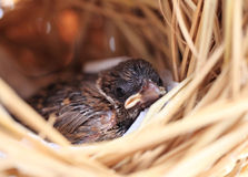 Sparrow in the nest Royalty Free Stock Image