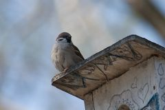 Sparrow on a Nesting Box stock photos