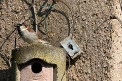 Sparrow on a nesting hole at the courtship. A Sparrow on a nesting hole at the courtship Stock Photos