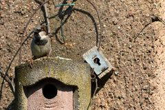 Sparrow on a nesting hole at the courtship Royalty Free Stock Images