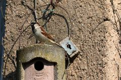 Sparrow on a nesting hole at the courtship Royalty Free Stock Image