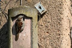 Sparrow on a nesting hole at the courtship Royalty Free Stock Photography