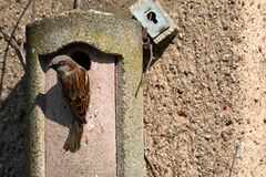 Sparrow on a nesting hole at the courtship Stock Photos