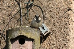 Sparrow on a nesting hole at the courtship Stock Photo