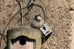 Sparrow on a nesting hole at the courtship. A Sparrow on a nesting hole at the courtship Stock Images