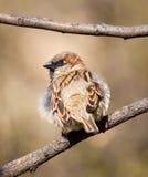 sparrow oddziału zdjęcie stock