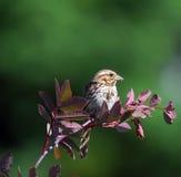 sparrow odpryskiwanie Fotografia Stock
