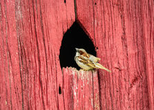 Sparrow on Old Barn Royalty Free Stock Photo