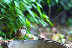 Sparrow on old bucket Stock Photography