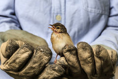 Sparrow on the old gloves of a worker Stock Photography