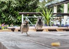 Sparrow Olympics - The Chip Race Stock Photo