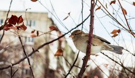 Free Sparrow On A Tree Stock Image - 52981111