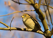 Free Sparrow On A Tree Branch Stock Image - 11596761