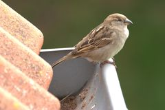 Sparrow On The Roof Stock Photography