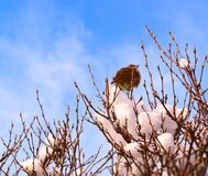 Free Sparrow On The Tree Under The Snow, Early Spring Stock Photo - 174109880