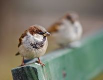 Sparrow On Wooden Bench Royalty Free Stock Photography