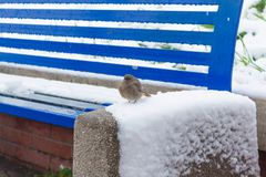 SPARROW OVER A BLUE BENCH COVERED BY SNOW Stock Photography